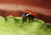 Ladybug on lettuce leaf (MR) von Danita Delimont