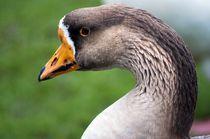 Goose by Karen Brodie