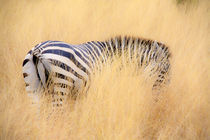zebra in the wilderness 16 by Leandro Bistolfi