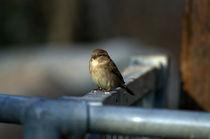 Sparrow on fence by David Freeman