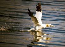 gannet by Tim Large