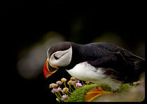 puffin by Tim Large