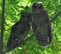 Barred owls von Monteen McCord