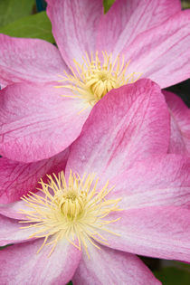 Clematis 'Asao' by Geoff Bryant