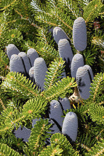 Korean Fir Tree (Abies koreana) von Geoff Bryant