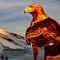 Golden-eagle-ivi