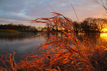 reed in the sun by Stefan Bruett