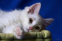 Adorable white kitten by Raffaella Lunelli
