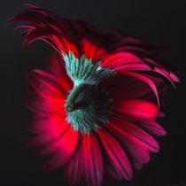 Reflection of the Gerbera von Jenny Hudson