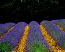 Lavender Field by Lainie Wrightson