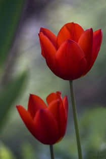 Red tulips von Raffaella Lunelli