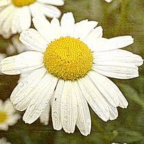 Summer Daisy by Patricia N