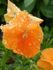 Raindrops on a Salmon Pansy by Warren Thompson