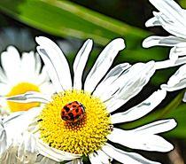 Zazzle-ladybug-and-daisy
