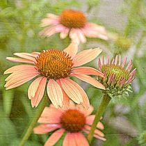 Peach Echinacea Flowers by Patricia N
