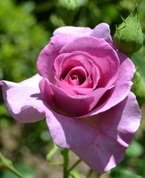 Pretty Rose by Patricia N