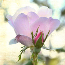 Soft Pink Rose by Patricia N