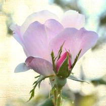 Zazzle-soft-rose-bright