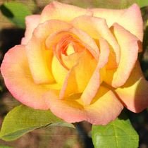 Autumn Peach Rose by Patricia N