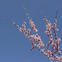 Pink Flowering Tree in the Sky by Patricia N