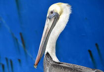 Pelican On Blue von Fraida Gutovich