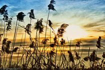 Wind in the reeds by and979