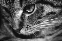 Cat in b/w von Janina Fremke