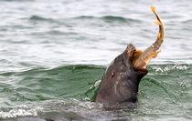 Sea LionVersus Sand Shark by Fraida Gutovich