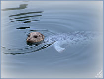 Harbor Seal by Christi Ann Kuhner