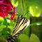 Swallowtail-profile