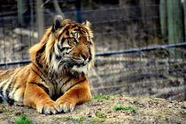 Sumatran Tiger I by Anna-Maria Kawecka