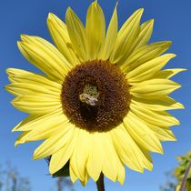 Yellow Sunflower with A Bee by Patricia N