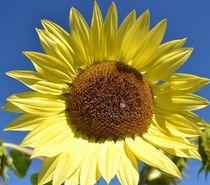 Autumn Sunflower von Patricia N