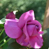 Pink Rose in Late Summer von Patricia N