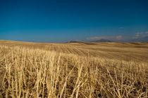Barley meadows by Victoria Savostianova