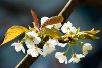 Blooming cherry tree by Victoria Savostianova