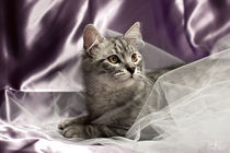 Little cat on lilac von Raffaella Lunelli