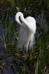 Great Egret Preening by john rowe