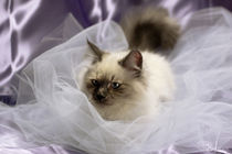 Siberian kitty on tulle by Raffaella Lunelli