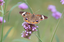 Common Buckeye on Verbena Flower by Robert E. Alter / Reflections of Infinity, LLC
