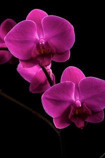 Orchidea  by Peter Zvonar