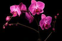 Purple Orchidea by Peter Zvonar