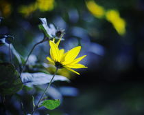 Beautiful yellow flower and blue bokeh by Levente Bodo