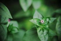 Spring bud by Levente Bodo