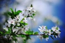 Cherry blossom von Levente Bodo