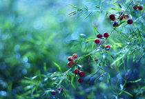 Bokeh berries by Levente Bodo
