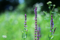 Bokeh and purple flowers by Levente Bodo