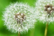 Dandelion close-up by Levente Bodo