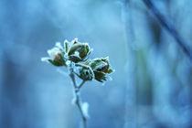 Frozen roses von Levente Bodo