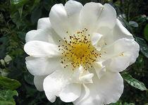Rosenblüte Schloß Ippenburg von Eugen Bill